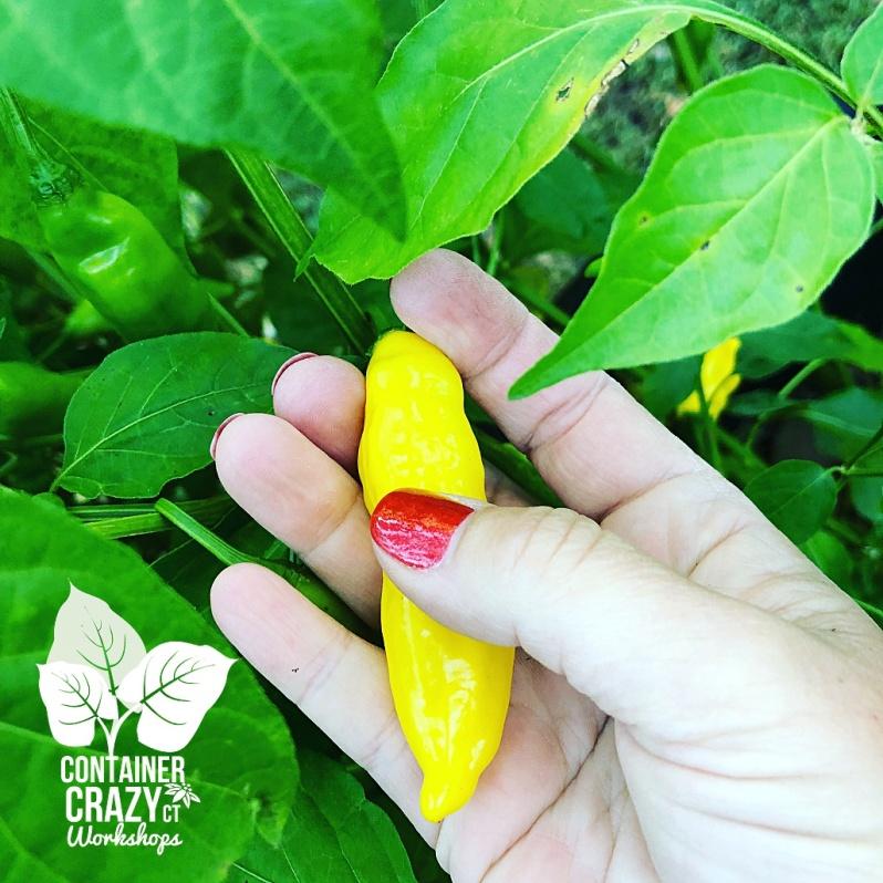 a pepper plants copywrite c testa_0002