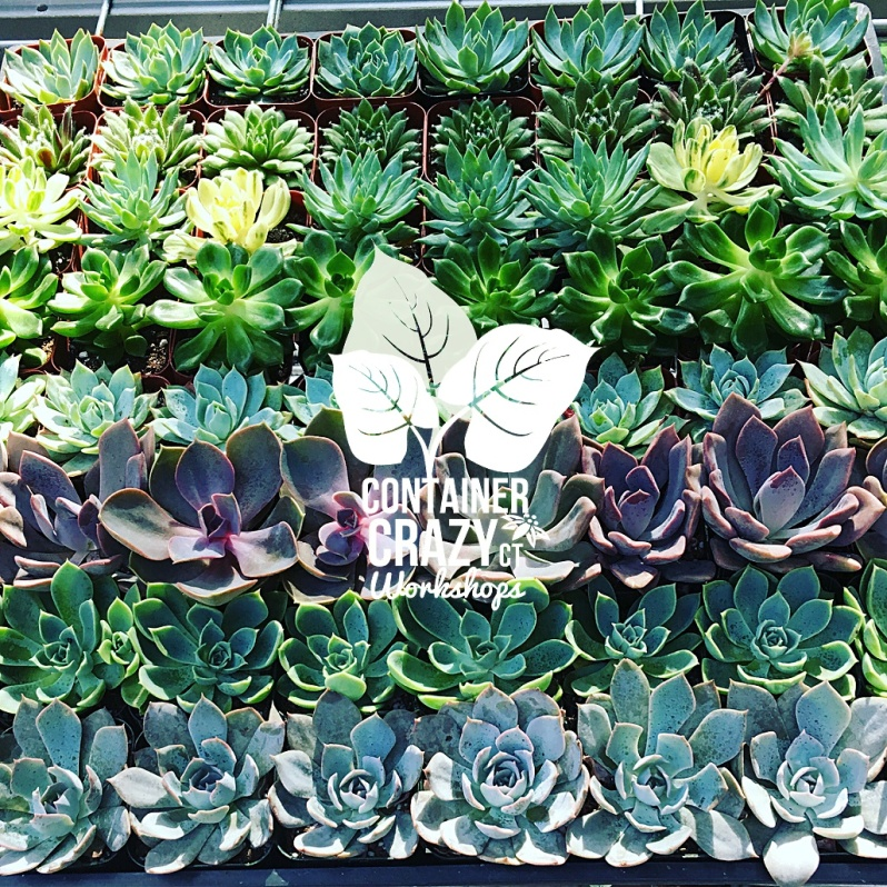 succulents 2018 cathy t_0001