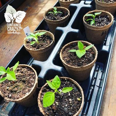 STARTER GARDEN PLANTS C Testa Copywrite_0001
