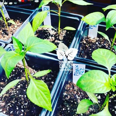 STARTER GARDEN PLANTS C Testa Copywrite_0005