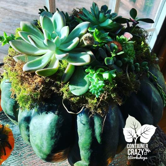 A Succulents Pumpkin C Testa Copywrite_0001